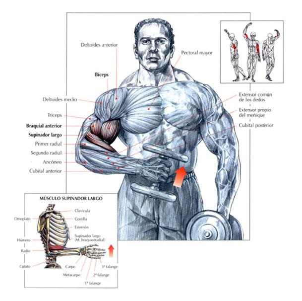 biceps curl alterné